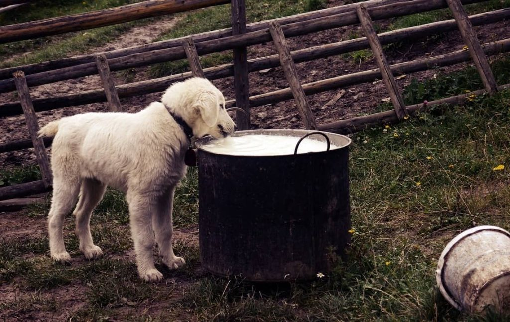 dog drinking milk